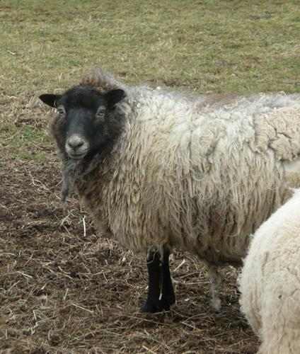 Kiss is a crossbred Cheviot/Shetland who had given us beautiful fleeces (and beautiful lambs) for several years.