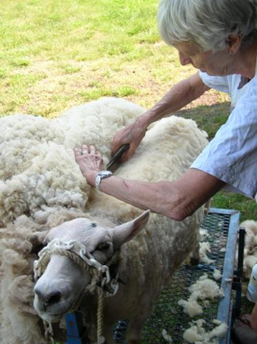 I do this when a sheep has not been sheared by the shearer for some reason. It takes me over an hour to do just one!