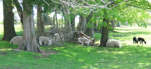 This field is used for the ewes and their lambs. It has a good shelter and shade for warm days.