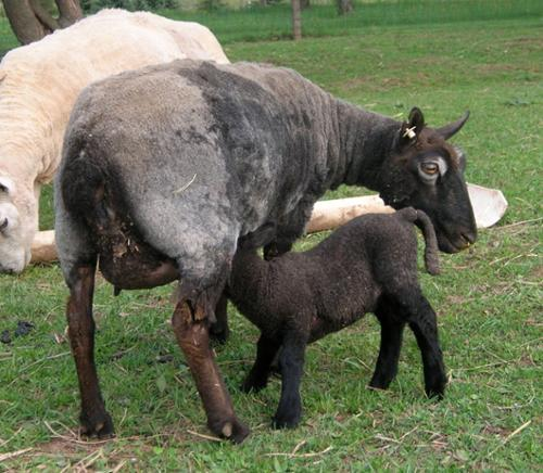 Darra came to us from Kansas - she was the matriarch of all our dilute black sheep. Here she is nursing her son Samuel.